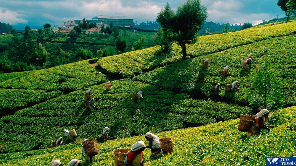 Чайные плантации в в Шри-Ланке